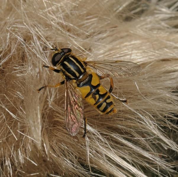 Helophilus sp, July