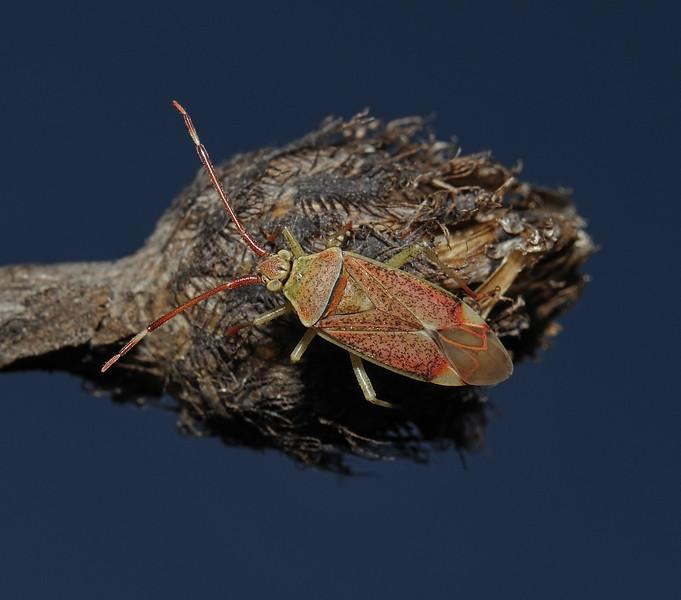 Pantilius tunicatus, September