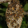 Honey bee nest, July 11th