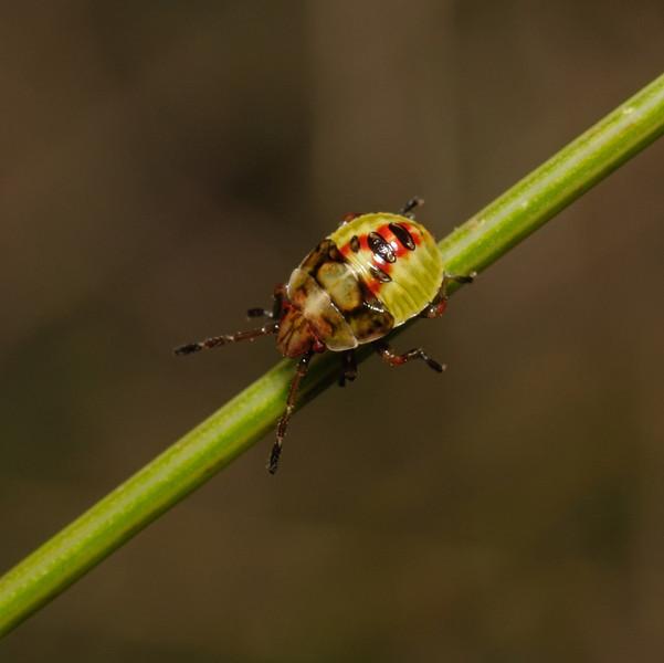 Birch Shieldbug - Elasmostethus interstinctus nymph, August