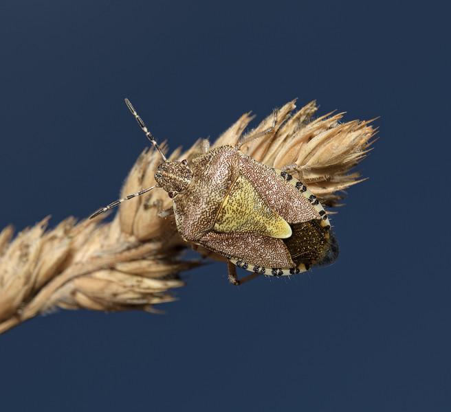 Sloe Shieldbug, Dolycoris baccarum, August