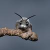 Andrena cineraria male, May
