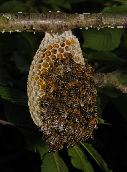 Honey bee nest, June 20th