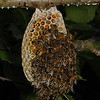 Honey bee nest, June 20th