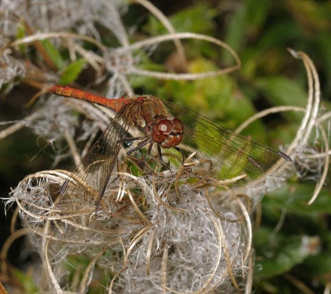 Common darter - Sympetrum striolatum, September
