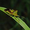 Hawthorn Shieldbug - Acanthosoma haemorrhoidale, September