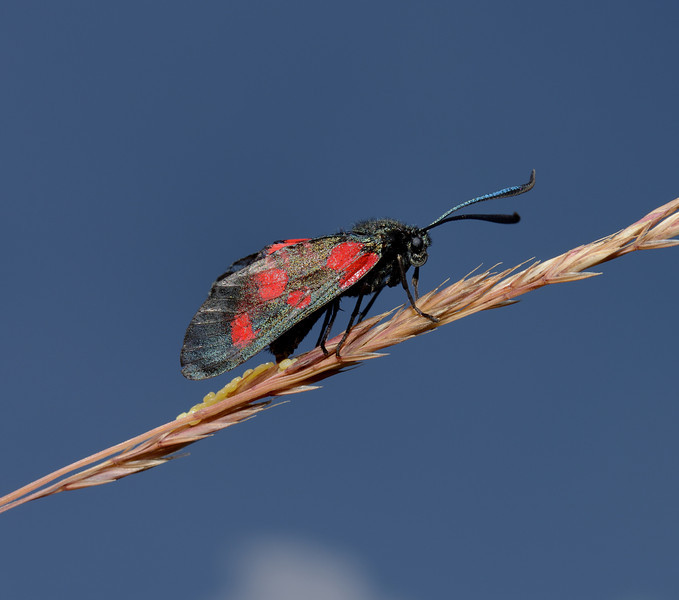 Narrow-bordered Five-spot Burnet, July