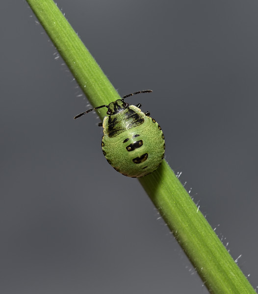 Green Shieldbug - Palomena prasina , July