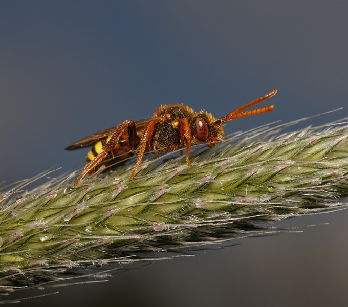 Nomada lathburiana female, May