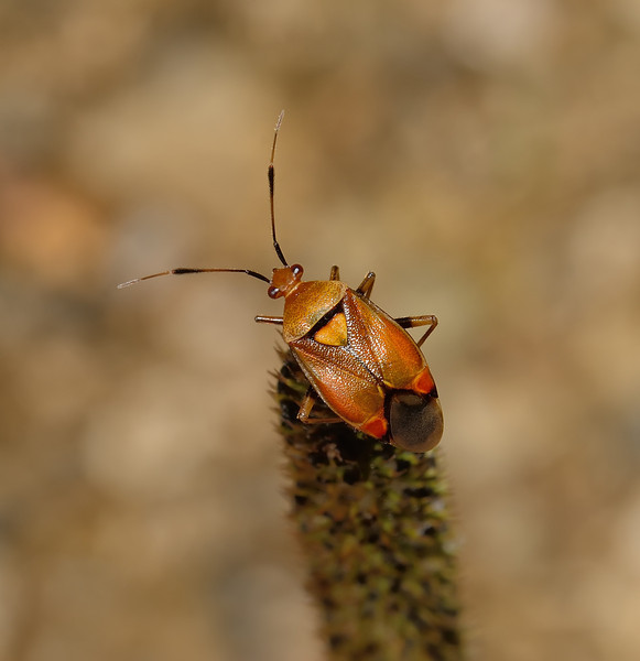 Deraeocoris ruber, August