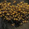Araneus diadematus, May