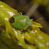 Green Shieldbug - Palomena prasina, April
