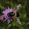Volucella pellucens male, July