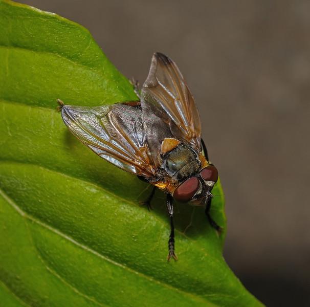 Phasia hemiptera male, April