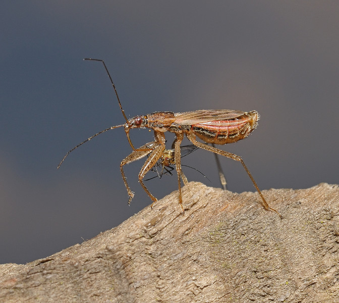Nabis rugosus with prey, April