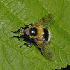 Volucella bombylans male, May