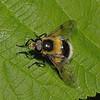 Volucella bombylans male, May