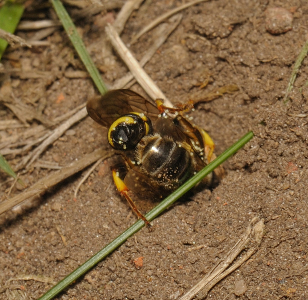Cerceris rybyensis with bee prey, July