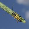 Leptura maculata, July