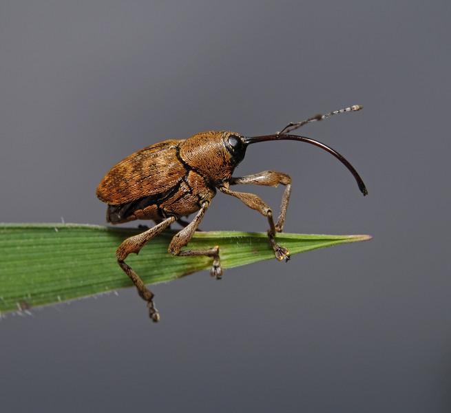 Weevil - Curculio sp, August