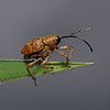 Weevil - Curculio sp, August