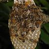 Honey bee nest, July 11th