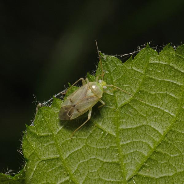 Neolygus sp, May