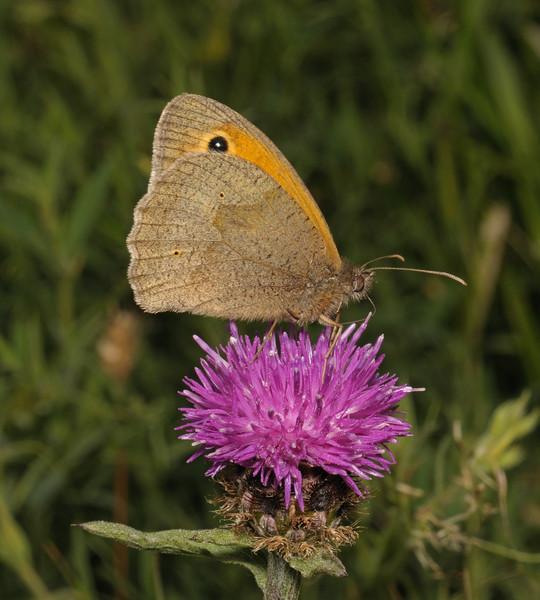 Meadow Brown male, June