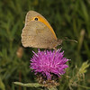 Meadow Brown male, June
