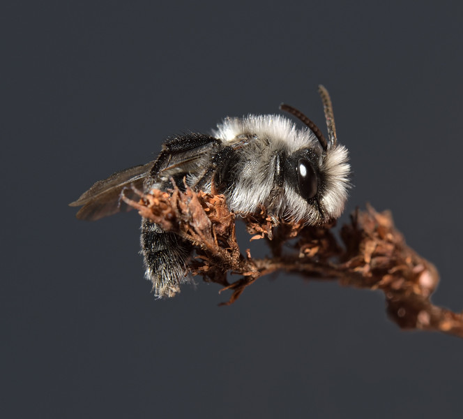 Andrena cineraria male,  April
