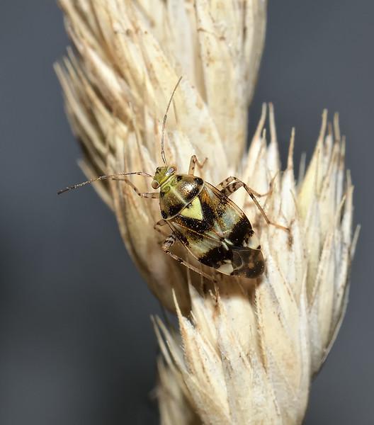 Liocoris tripustulatus, August