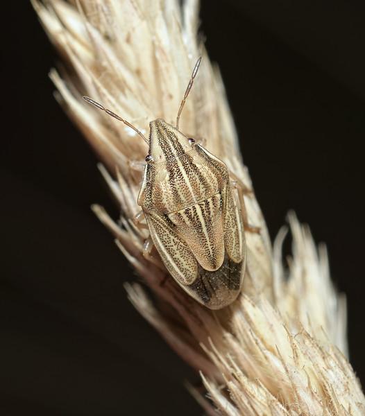 Bishop's Mitre Shieldbug - Aelia acuminata, August