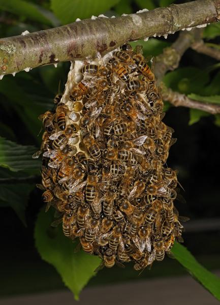Honey bee nest, June 12th