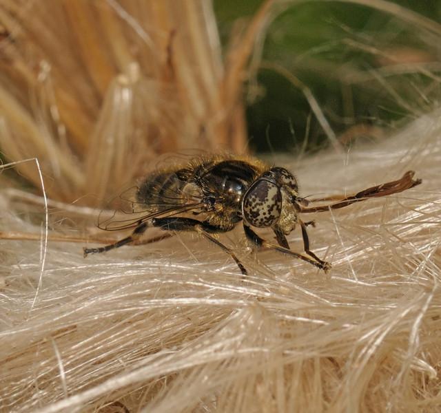 Eristalinus sepulchralis, July