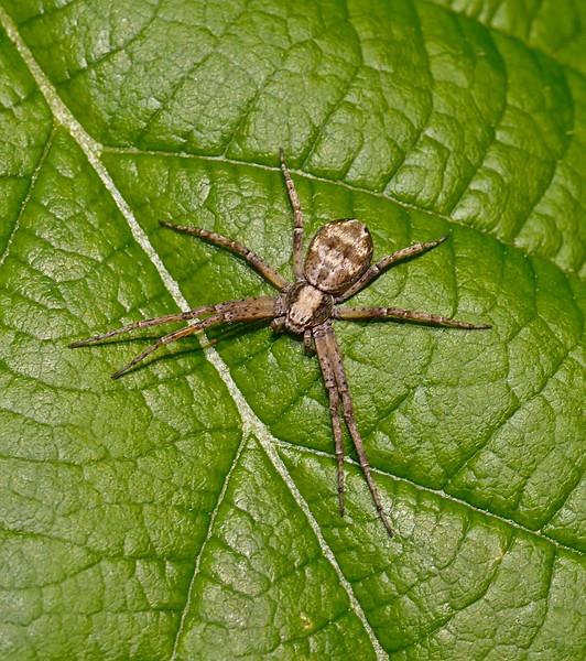 Philodromus sp, July