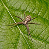 Philodromus sp, July