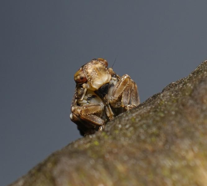 Issus coleoptratus nymph, November
