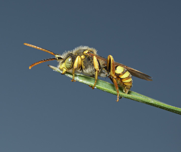 Nomada lathburiana, April