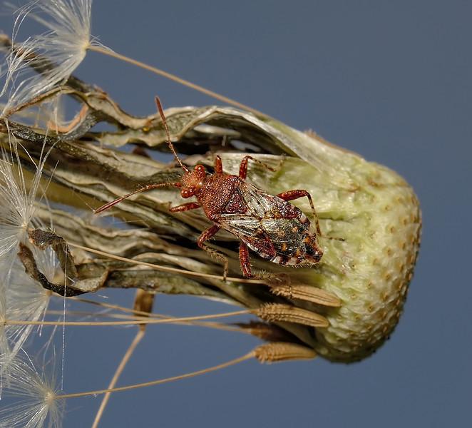 Rhopalus subrufus, April