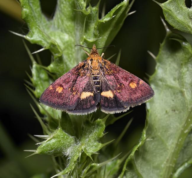 Pyrausta aurata, August