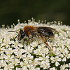 Andrena haemorrhoa female, June