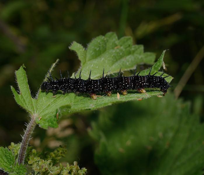 Peacock caterpillar, July