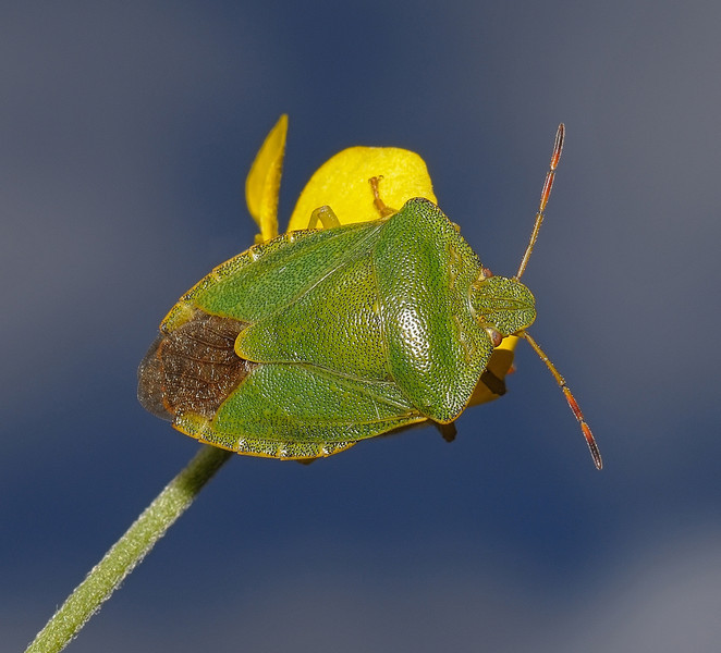 Green Shieldbug - Palomena prasina, May