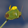 Green Shieldbug - Palomena prasina, May