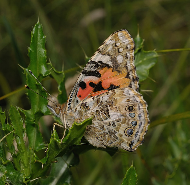 Painted Lady, June