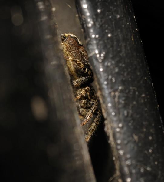 Marpissa muscosa female, June