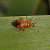 Deraeocoris ruber, July