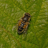 Eristalis interruptus, May