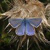 Common Blue male, July