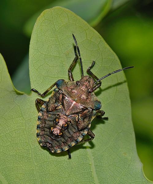 Forest Shieldbug - Pentatoma rufipes nymph, July